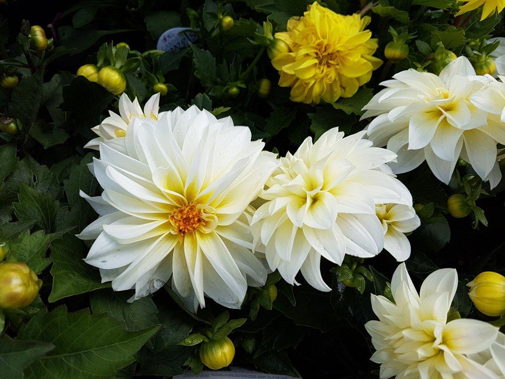 white-dahlias-x-hybrida-royalty-free-image-1074182996-1544566691.jpg