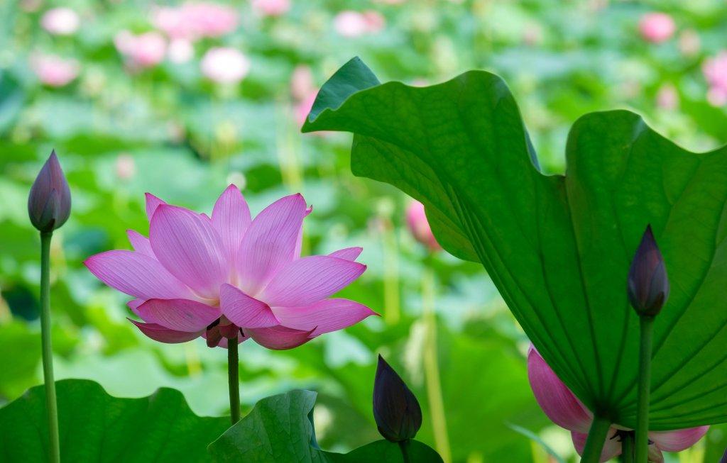 Lotus_123.jpg