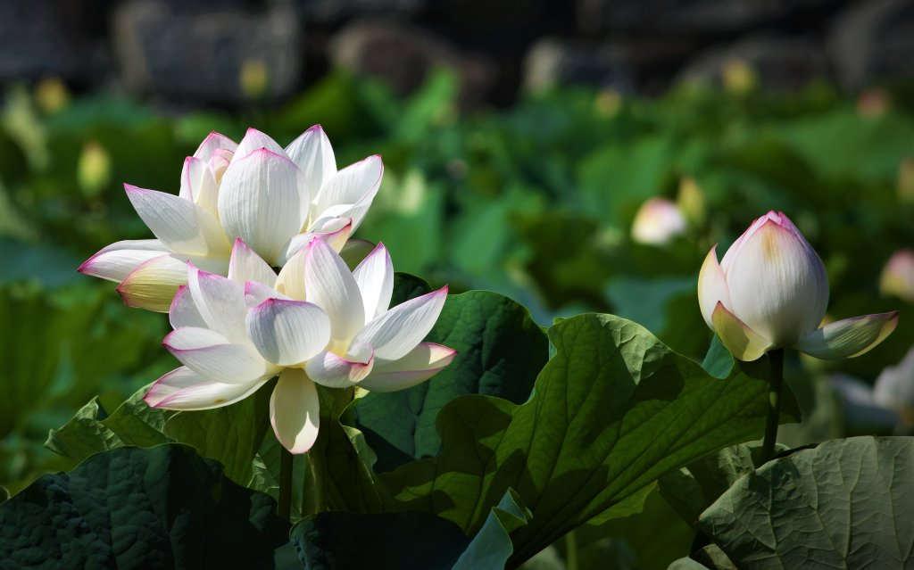 Lotus_wh.jpg