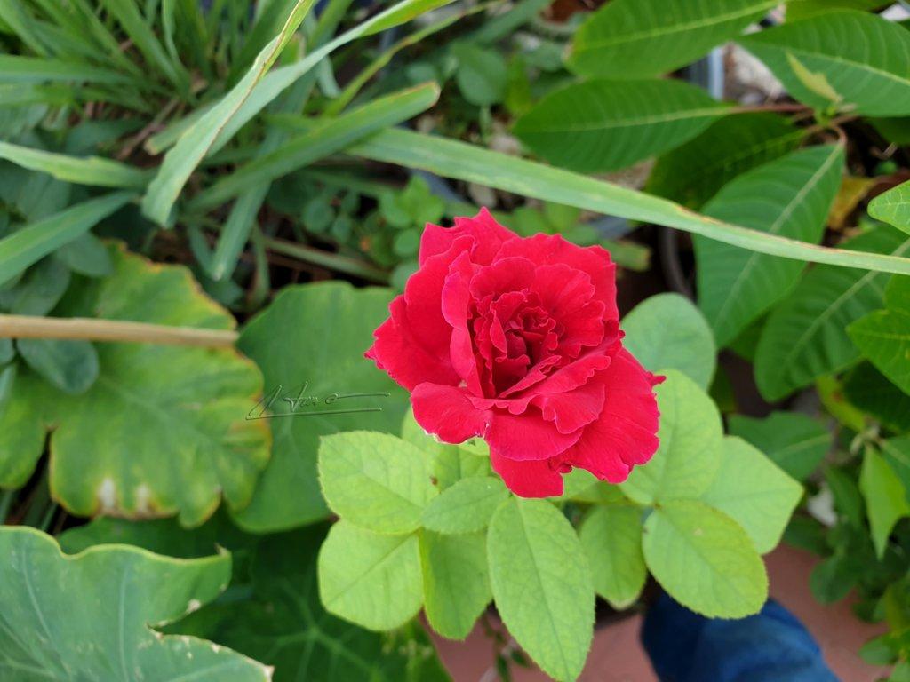 TVH's pic - Rose - 290420 (5).jpg