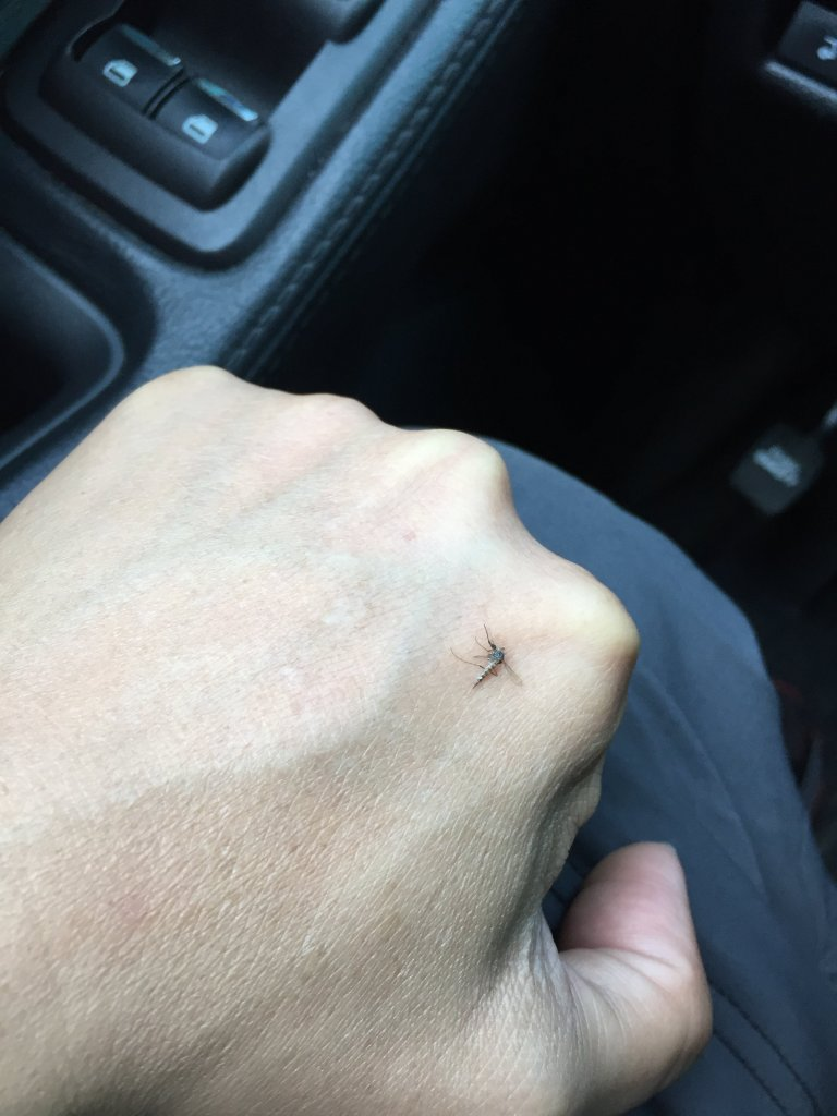 Muỗi Canada.JPG